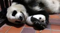 【公募情報】赤ちゃんパンダの名前を募集! カタカナで8月10日まで