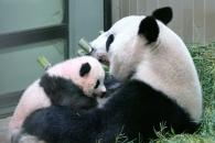【結果速報】上野の赤ちゃんパンダ 名前は「シャンシャン(香香)」