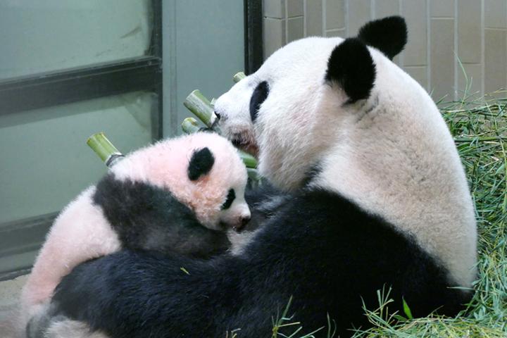 赤ちゃんパンダ「シャンシャン(香香)」(左)と、母パンダ「シンシン(真真)」(画像:公益財団法人東京動物園協会)