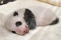 【公募情報】和歌山の赤ちゃんパンダ、名前を募集!11月16日まで