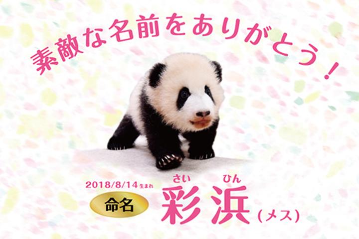 【結果速報】和歌山の赤ちゃんパンダ、名前は「彩浜(さいひん)」!公募で決定