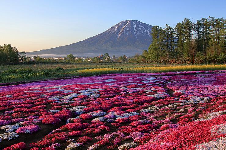 夜明けの芝桜