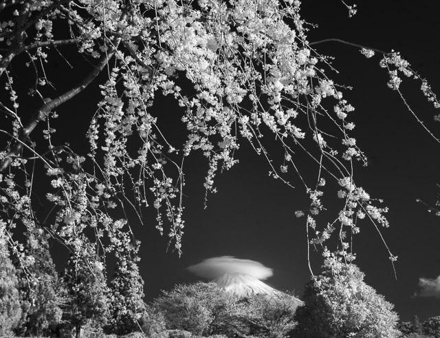 映える枝垂れ桜