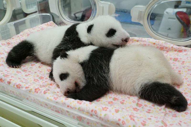 【公募情報】上野動物園で生まれた双子の赤ちゃんパンダ、8月20日まで名前を募集!