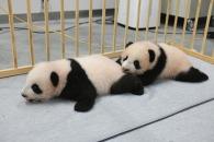 【結果速報】上野動物園の双子パンダ、名前は『暁暁(シャオシャオ)』『蕾蕾(レイレイ)』に決定