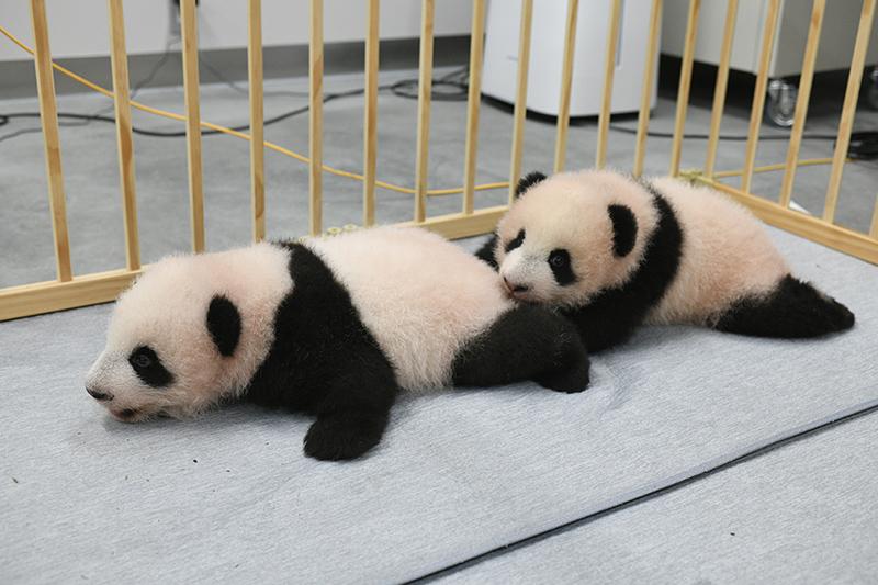 上野動物園のジャイアントパンダ双子赤ちゃん